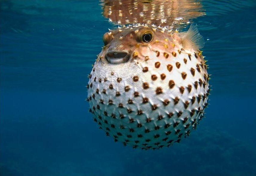 immagini dei pesci palla cmi