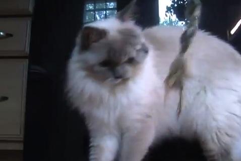gatto a due teste