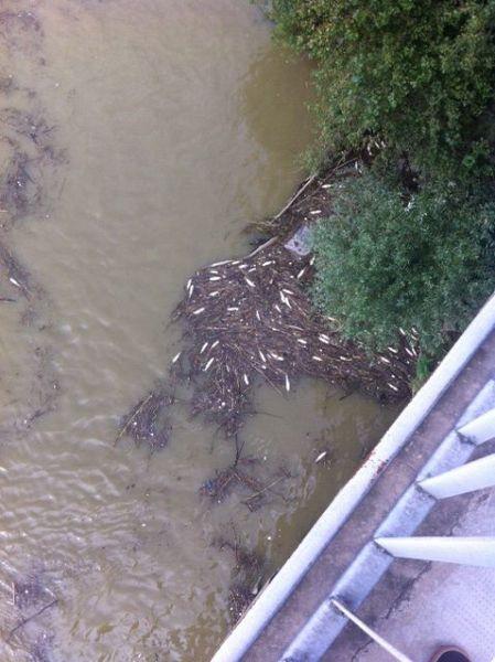Misteriosa moria di pesci nel fiume arno indagini in for Pesci di fiume