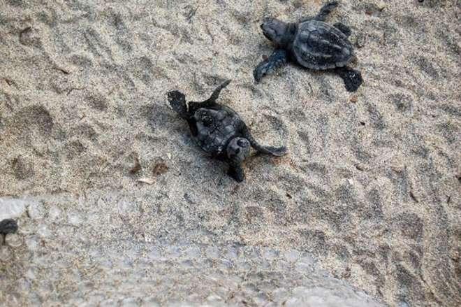nate 108 tartarughe caretta caretta nel salernitano