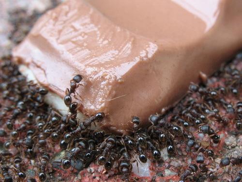 Formiche in casa come eliminarle con metodi naturali - Come eliminare le formiche in casa ...