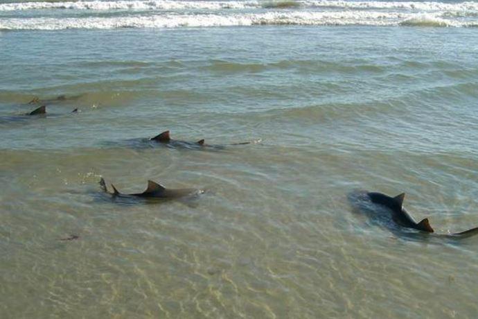 Elicottero Squalo : Bambino di anni attaccato da uno squalo morso a un