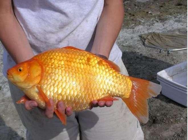 pesci rossi giganti in canada invasione in un lago di