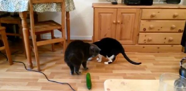 Gatti Spaventati Dai Cetrioli Video Virale E Spiegazione