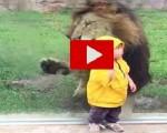 Paura allo zoo in Giappone: un leone attacca una bambina