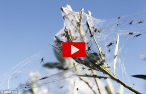 Invasione di ragni in Australia: Tasmania completamente coperta di insetti