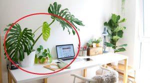 Feng Shui E Ufficio : E la pianta del guadagno piazzatela subito dentro casa e la vita