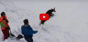 video Camoscio salvato in Austria