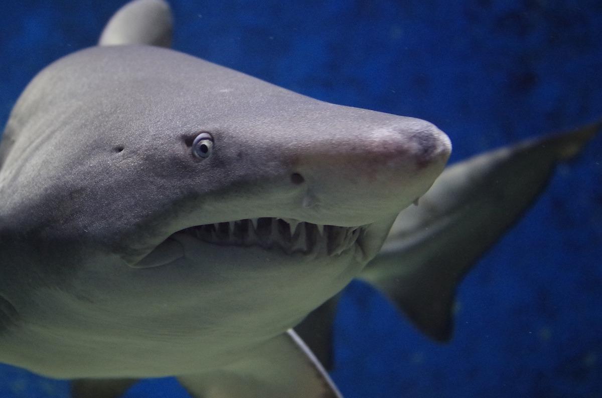 Enorme squalo bianco avvistato sulla costa in Italia: tantissime segnalazioni - VIDEO