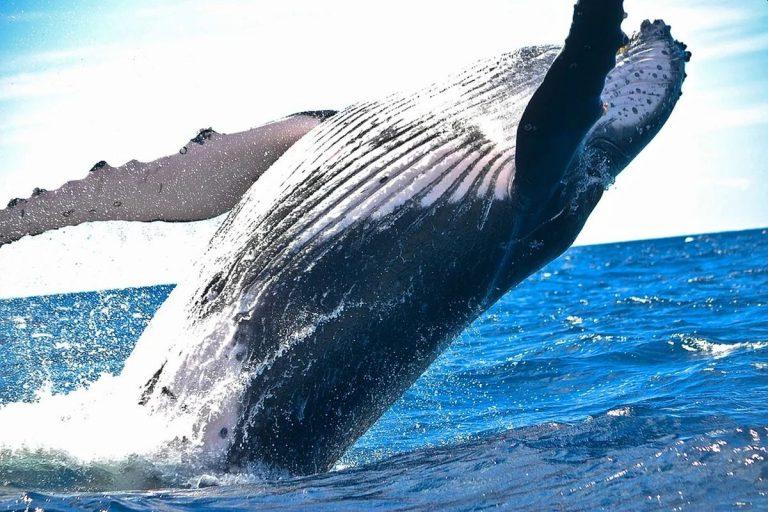 Balena avvistata in Toscana, nella darsena di Portoferraio, Isola d'Elba: lo spettacolo nel Mar Tirreno